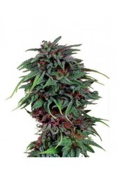 comprar Durban Poison de Dutch Passion