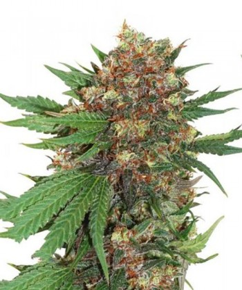 Comprar Master Kush de Dutch Passion