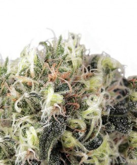 comprar Snowbud de Dutch Passion