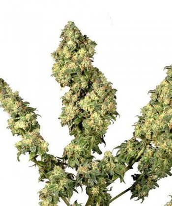 Comprar Ultra Skunk de Dutch Passion