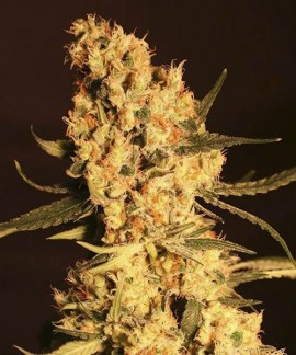 comprar Jamaican Dream de Eva Seeds