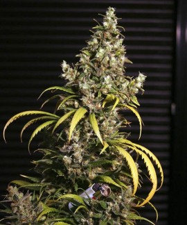 comprar Monster de Eva Seeds