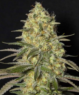 comprar Black Dream de Eva Seeds