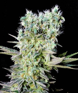 comprar Northern Lights X de Genehtik Seeds