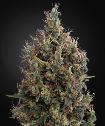 Comprar Big Bang Auto de Green House Seeds