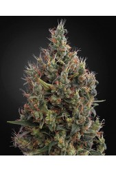 Big Bang Auto de Green House Seeds