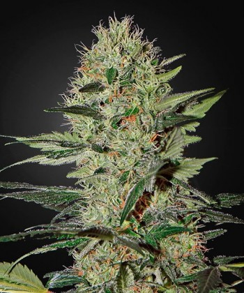 Comprar Exodus Cheese Auto de Green House Seeds