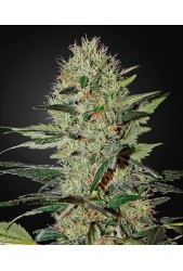 Exodus Cheese Auto de Green House Seeds