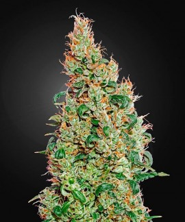 comprar Green-O-Matic de Green House Seeds