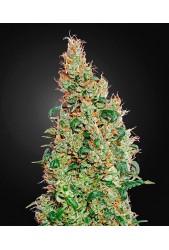 Green-O-Matic de Green House Seeds
