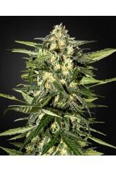 Jack Herer Auto de Green House Seeds