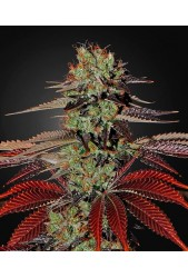 King's Kush Auto de Green House Seeds