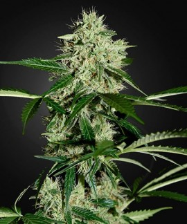 comprar Northern Lights Auto de Green House Seeds