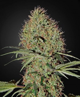 comprar Super Bud Auto de Green House Seeds