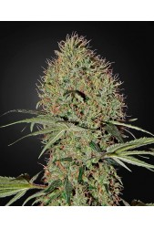 Super Bud Auto de Green House Seeds