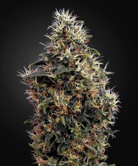 comprar Sweet Mango Auto de Green House Seeds