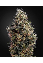 Sweet Mango Auto de Green House Seeds