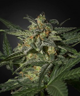 comprar White Widow Auto de Green House Seeds