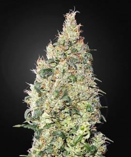 comprar Great White Shark CBD de Green House Seeds