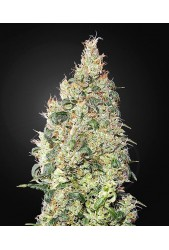 Great White Shark CBD de Green House Seeds