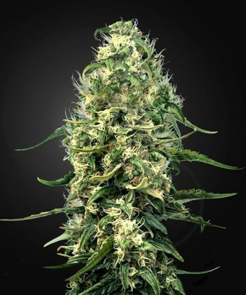 Comprar Super Silver Haze CBD de Green House Seeds