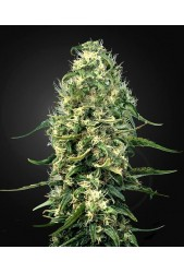 Super Silver Haze CBD de Green House Seeds