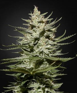 comprar The Church CBD de Green House Seeds