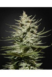 The Church CBD de Green House Seeds
