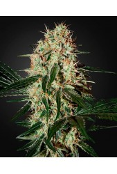 Arjan's Haze 3 de Green House Seeds