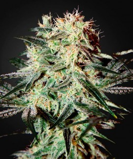 comprar Arjan's Strawberry Haze de Green House Seeds