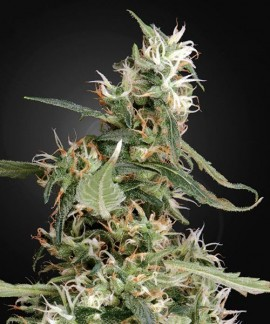 comprar Arjan'S Ultra Haze 1 de Green House Seeds