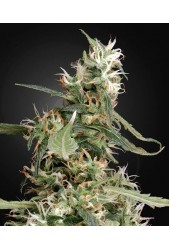 Arjan'S Ultra Haze 1 de Green House Seeds