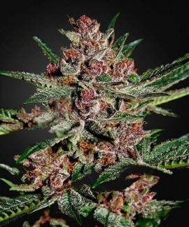 comprar Bubba Kush de Green House Seeds