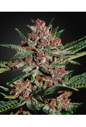 Bubba Kush de Green House Seeds