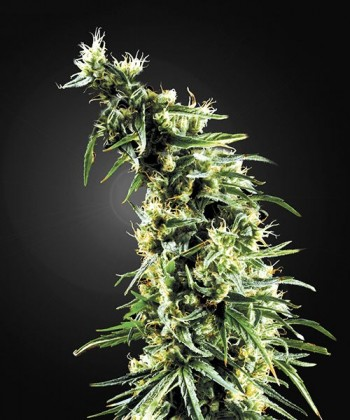 Comprar Hawaiian Snow de Green House Seeds