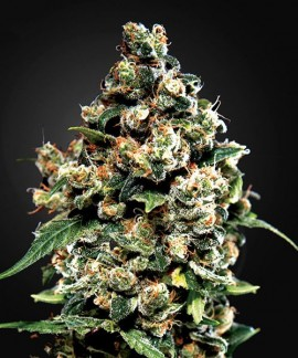 comprar Jack Herer de Green House Seeds