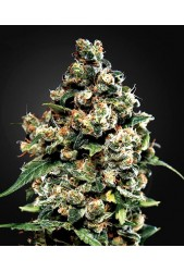 Jack Herer de Green House Seeds