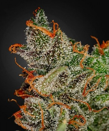 Comprar King's Kush de Green House Seeds