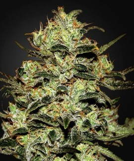 comprar Moby Dick de Green House Seeds