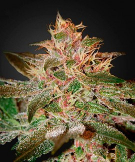 comprar Pure Kush de Green House Seeds