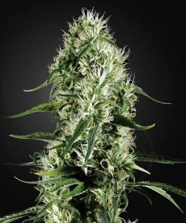 comprar Super Silver Haze de Green House Seeds