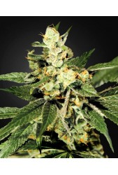 TrainWreck de Green House Seeds