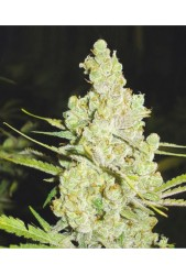 comprar 1024 de Medical Seeds