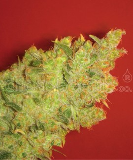 comprar Jack La Mota de Medical Seeds