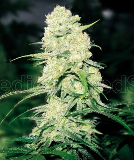 comprar Malakoff de Medical Seeds