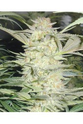 White Widow de Medical Seeds
