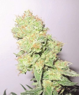 comprar Y Griega de Medical Seeds