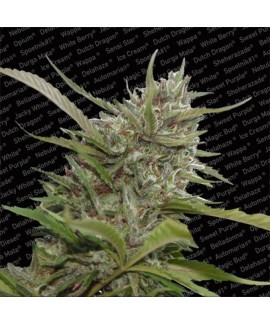 Whiteberry Auto de Paradise Seeds