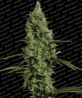 comprar Atomical Haze de Paradise Seeds