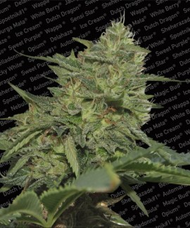 comprar Original Cheese de Paradise Seeds